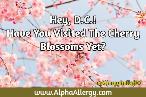 Cherry Blossoms D.C.